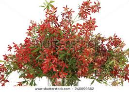 christmas bush stock images royalty free images u0026 vectors