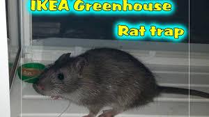 ikea greenhouse rat trap youtube