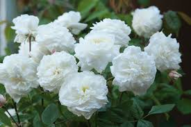 earth shattering gardening david austin lists five new roses for 2011