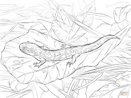 tiger coloring book pages eastern tiger salamander coloring page free printable coloring pages