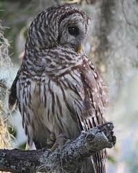 barred owl audubon field guide