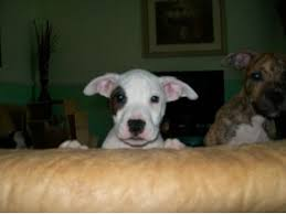 american pit bull terrier brindle american pit bull terrier puppies for sale white with tiger