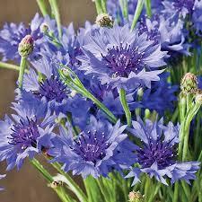 cornflower blue cornflower blue diadem seeds thompson