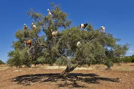 Tree Tree Climbing Goats Spit Out And Disperse Valuable Argan Seeds