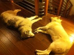 Dogs On Laminate Floors Wood Flooring Information Simplefloors News