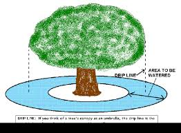 how much water does an oak tree need quora
