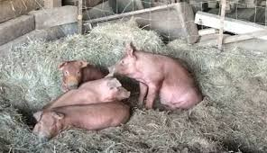 How To Build A Pig Barn How To Cut Down On Pig Odors Hobby Farms