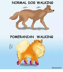 Pomeranian Meme - normal dog walking pomeranian walking ollovemy pom meme on me me