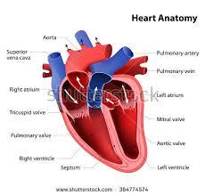 External Heart Anatomy Human Heart Anatomy Stock Images Royalty Free Images U0026 Vectors