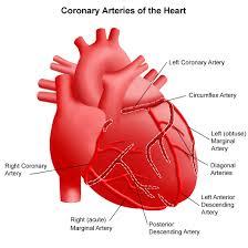 Heart Anatomy Arteries Anatomy And Function Of The Coronary Arteries Cardiovascular