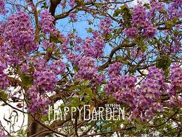 tree with purple flowers 100 seeds a lot hot sale paulownia tomentosa tree seeds purple