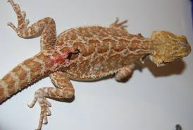 super orange red 5mths bearded dragons birmingham