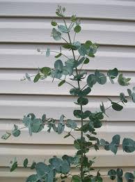 silver drop eucalyptus how to grow eucalyptus plants new on a homestead