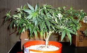 Grow Lights For Plants How To Grow Weed With Cfls Grow Weed Easy