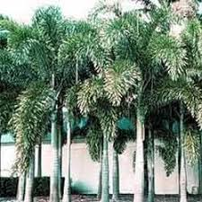 palm trees washingtonia suppliers wholesalers traders exporters