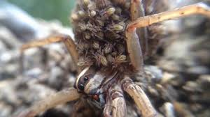 tx rabid wolf spider attacks man a video for halloween and