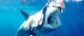 great whites on the rise off cape cod u2013 great white news