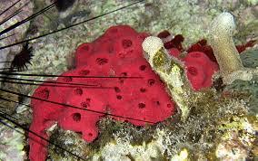 Strawberry Vase Sponge Strawberry Sponge Igernella Notabilis Sponge Identification