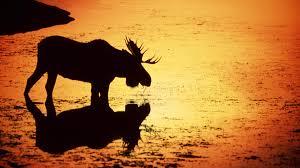 free moose wallpaper 6793337