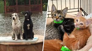 hurricane harvey flooding how to help save animals pets today com