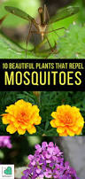 10 beautiful plants that repel mosquitoes plants herbs and gardens