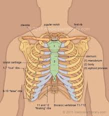 what is the purpose of the rib cage quora