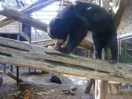srey ya and jo jo the malayan sun bears at colchester zoo 17