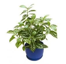 a z list of house plants common and scientific names