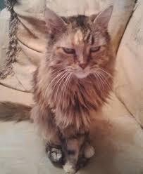 meeko my maine coon baby cats