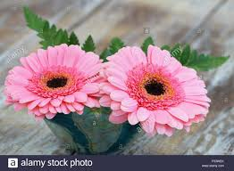 pink gerbera daisies in flower vase on rustic wooden surface with