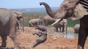 baby elephant learns lesson u0027s tossed air daily