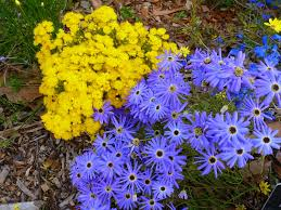 australian native plants online angus u0027s top ten australian plants for colour gardening with angus