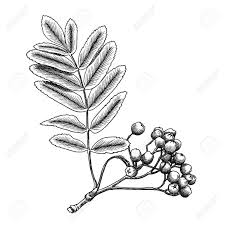 detailed and precise ink drawing of rowan or rowanberry berries