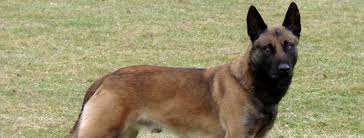 belgian shepherd ears belgian shepherd malinois breed guide learn about the belgian