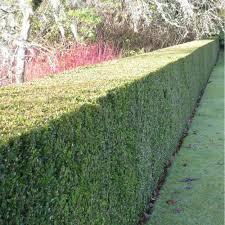 hedging plants for sale buy hedging ornamental trees ltd