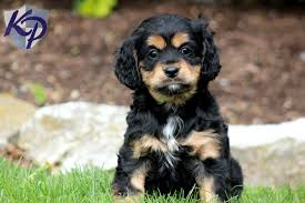 bichon frise breeders in pa cavalier mix u2022 keystone puppies puppies for sale in pa