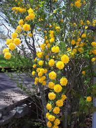 free yellow climbing flowers stock photo freeimages com