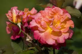 mardi gras roses 15 floribunda roses for the flower garden