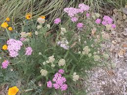 california native plant ground cover plants the granada native garden newsletter a demonstration garden for