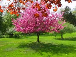 misc bloomer pink tree grass blooms trees small garden
