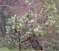 newly named hawaiian tree species already critically endangered
