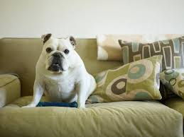 Couch Potato Gif The Best Dogs For Apartments