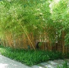 cheap ornamental bamboo find ornamental bamboo deals on line at