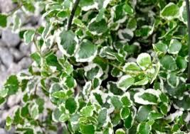 Nursery Plant Supplies by Ficus Interior Plants Nursery Supplies Commercial Nursery