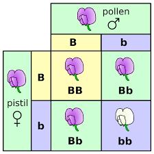 mendelian genetics genetics flashcards memorang