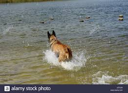 belgian sheepdog georgia shepherd stock photos u0026 shepherd stock images alamy