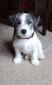 bichon frise x jack russell 286 best animals images on pinterest animals jack o u0027connell and