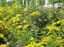 native plants names goldenrod this native plant should be kept out of the garden