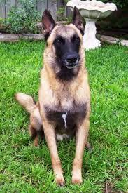 belgian shepherd hair loss belgian malinois dog breed