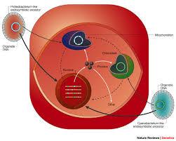 endosymbiotic gene transfer organelle genomes forge eukaryotic